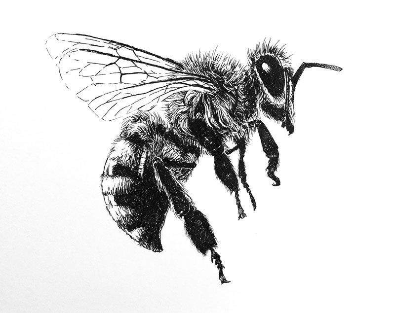 Line Drawing Bee : How to draw a bee with pen and ink