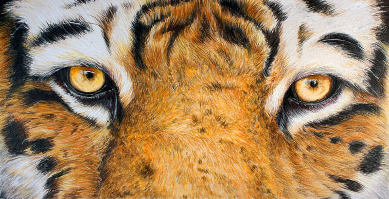 Tigers Eyes with Colored Pencils