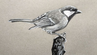 How to draw a realistic bird with graphite and white charcoal