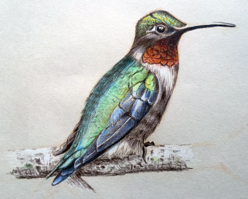 Oil-based colored pencil drawing of a bird