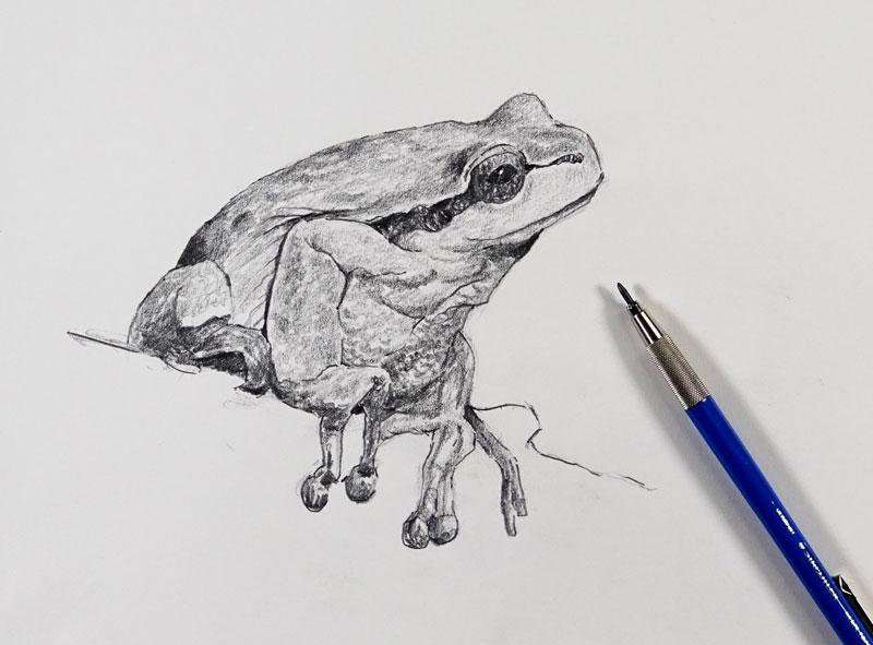 Pencil Sketch of a frog