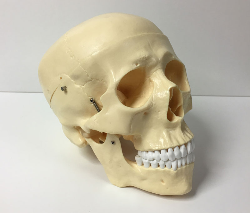 Skull Photo Reference