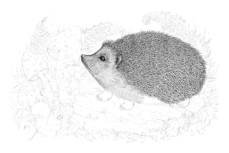Drawing the body of the Hedgehog