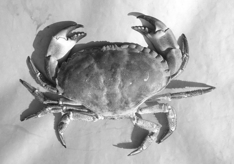 Crab Photo Reference