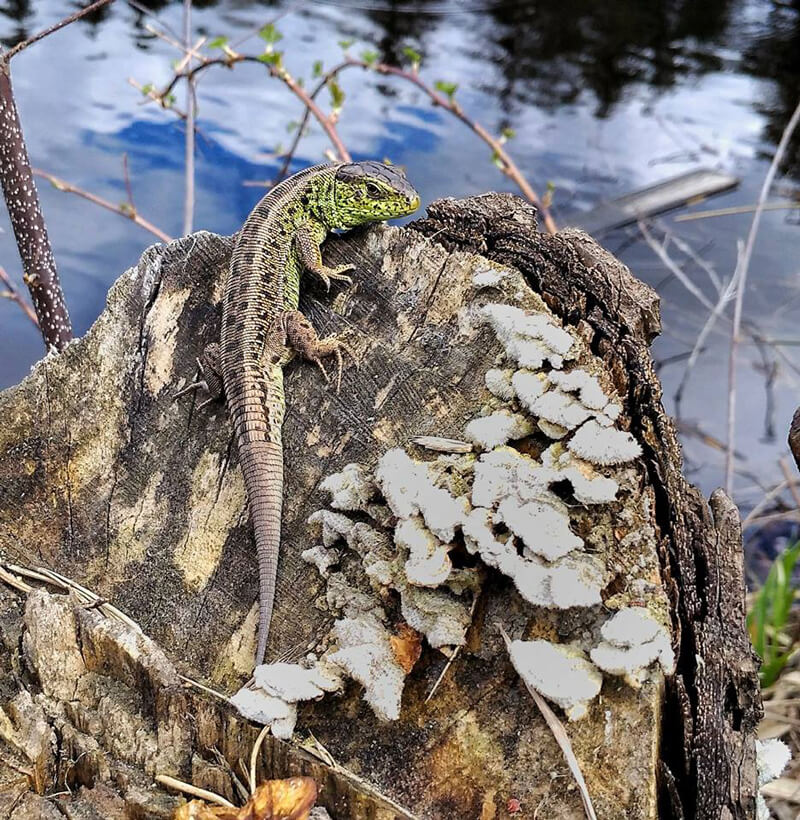 Lizard on a tree stump