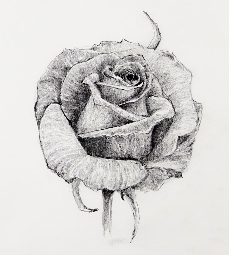 pencil sketch of a rose
