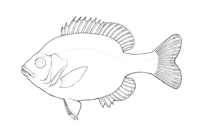 Contour line drawing of a fish