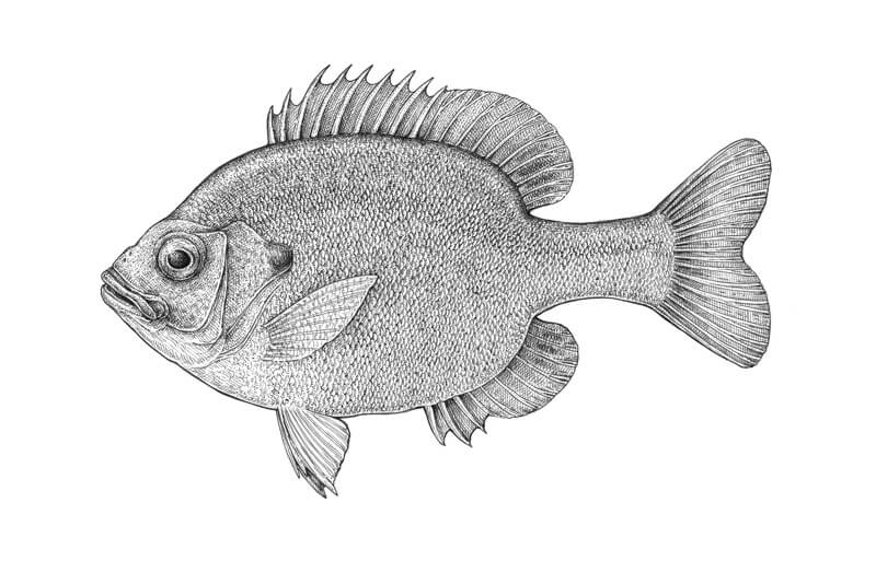Completed pen and ink drawing of a fish