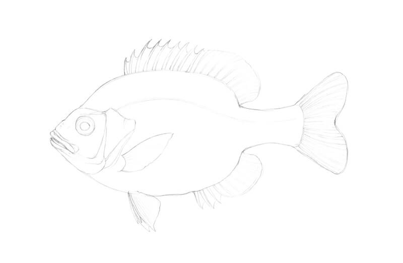 Pencil sketch of a fish