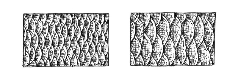 Drawing fish scales