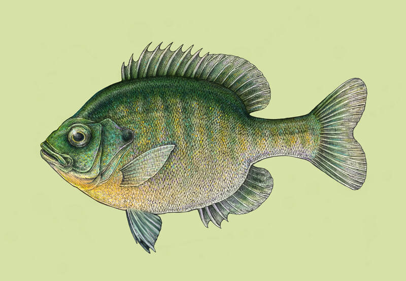 Digital painting and pen and ink drawing of a fish