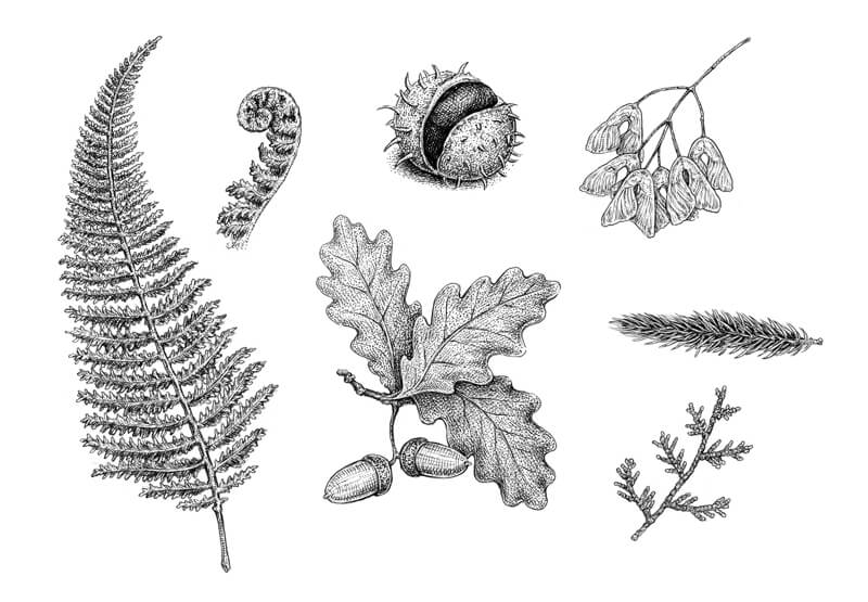 Herbarium drawing with pen and ink