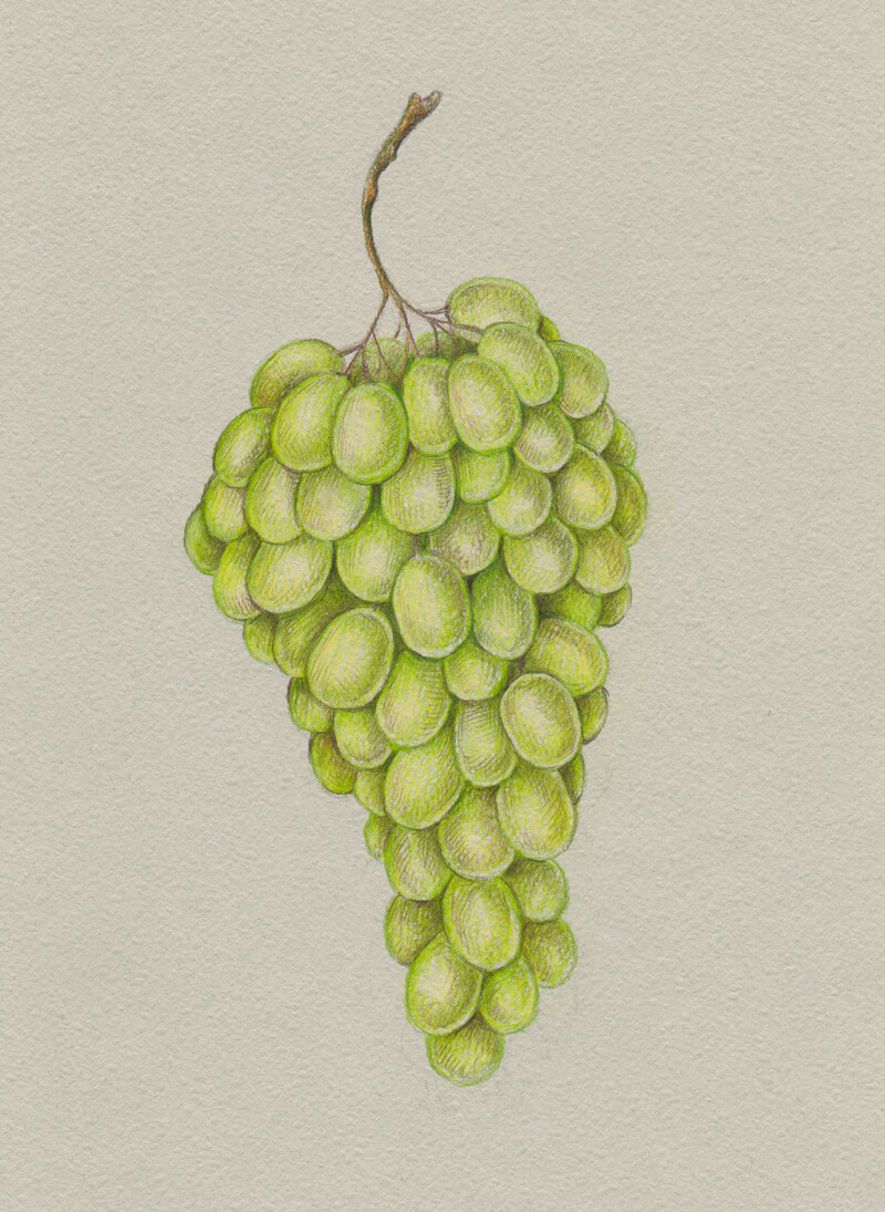 Adding subtle shadows to the grapes with colored pencils