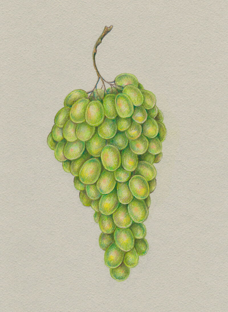 Colored pencil drawing of grapes