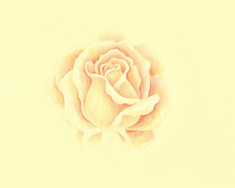 Adding color to the drawing of a rose