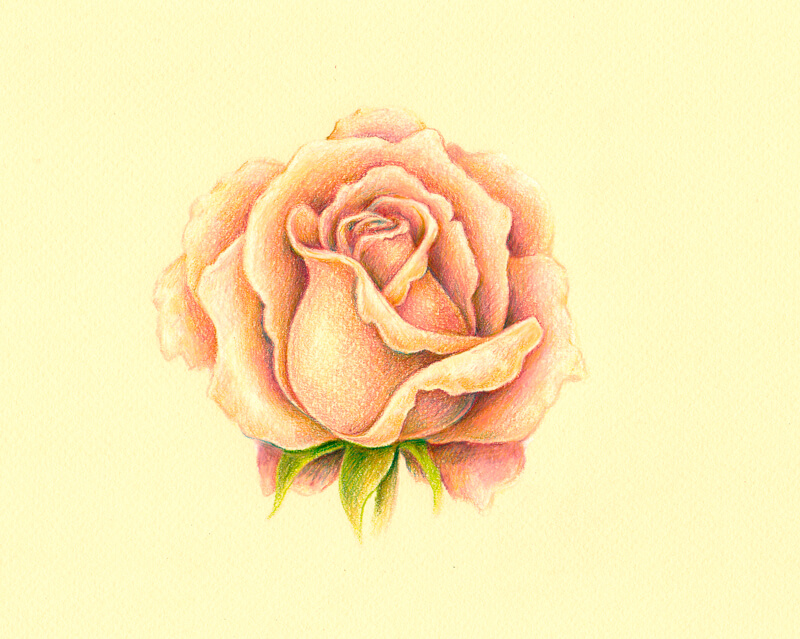 Colored pencil drawing of a white rose