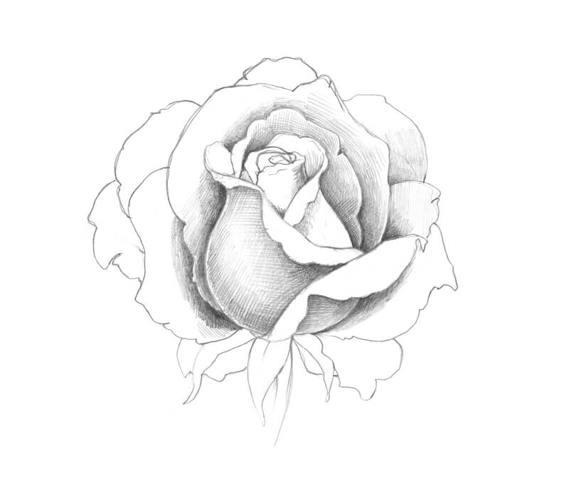 Developing values on a pencil drawing of a rose