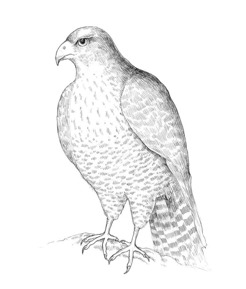 Adding textures to the drawing of a falcon