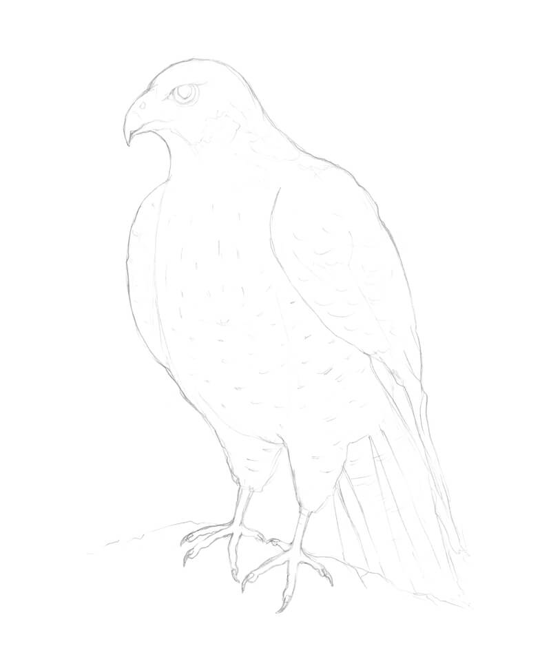 Refining the pencil drawing of a falcon