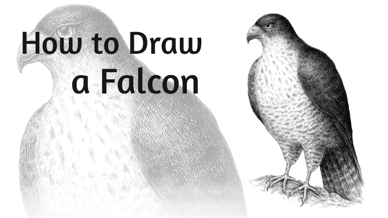 How to Draw a Falcon with Pen and Ink