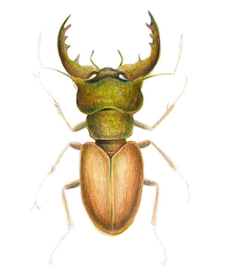 Adding bright accents to our drawing of a stag beetle