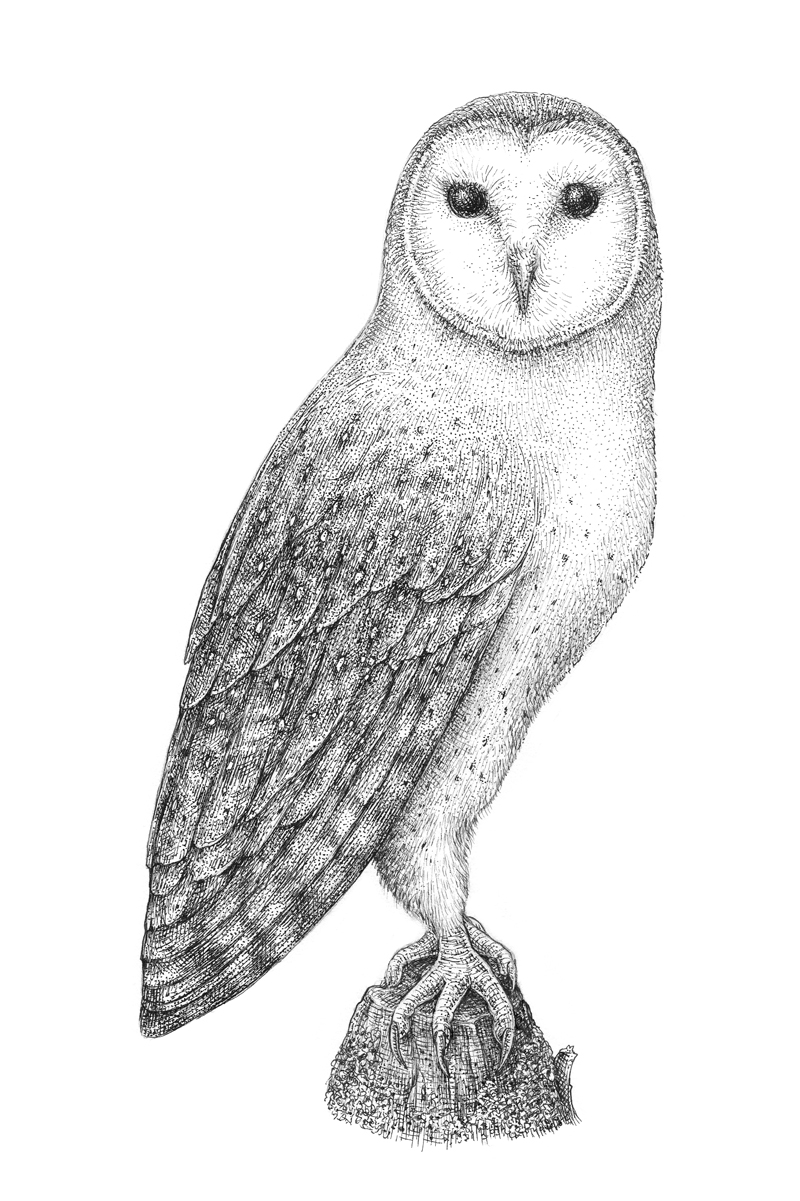 Pen and ink drawing of a barn owl