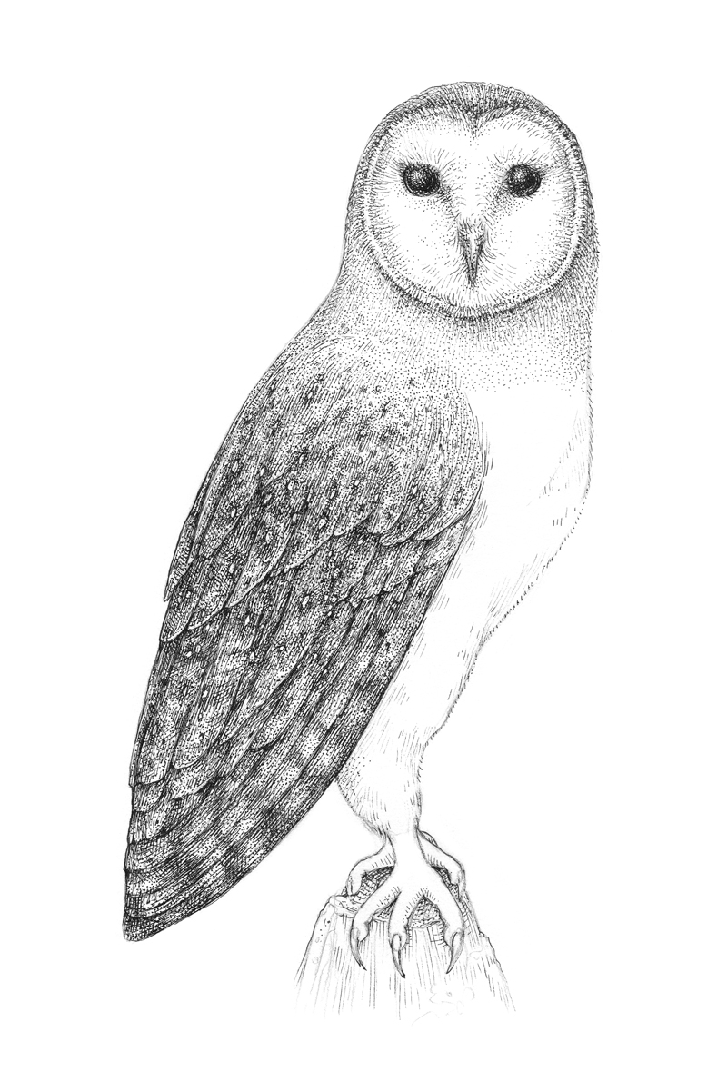 Adding pen and ink applications to the head and neck of the owl