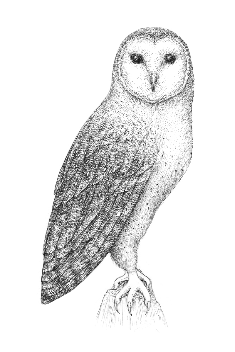 Drawing the subtle textures of the body of the owl