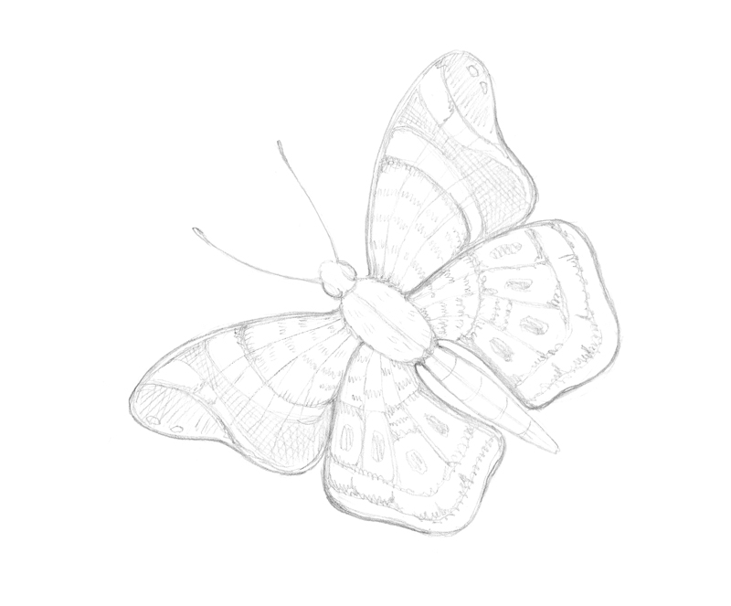 Drawing the pattern on butterfly wings