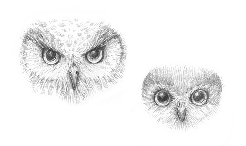 Pencil sketch of an owl