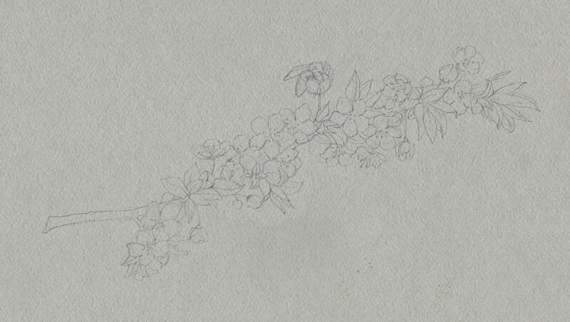 Contour line drawing of cherry blossoms on toned gray paper