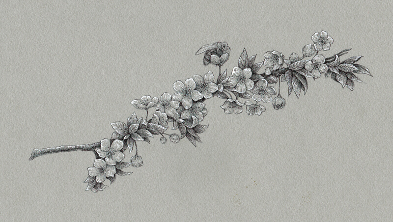 Drawing of cherry blossoms with black and white ink on toned paper
