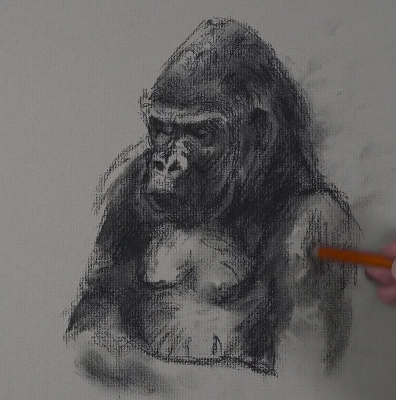 Gorilla Sketch - Step 3  - Adding lines with the charcoal pencil