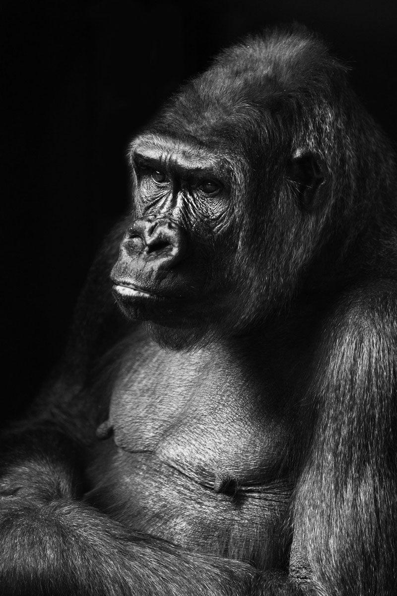Gorilla Drawing - Photo Reference