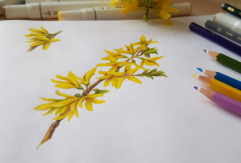 Botanical Drawing With Colored Pencils And Markers