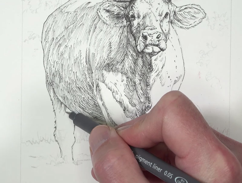 Drawing the body of the cow with ink