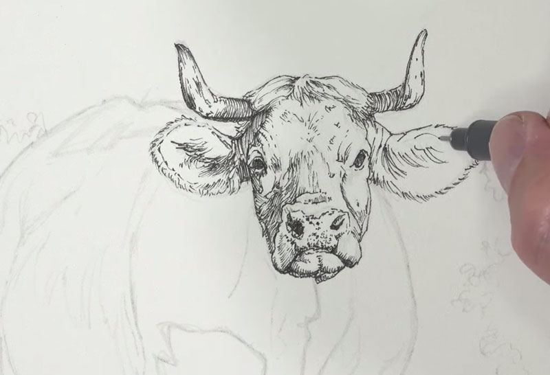 Drawing the head of the cow with ink