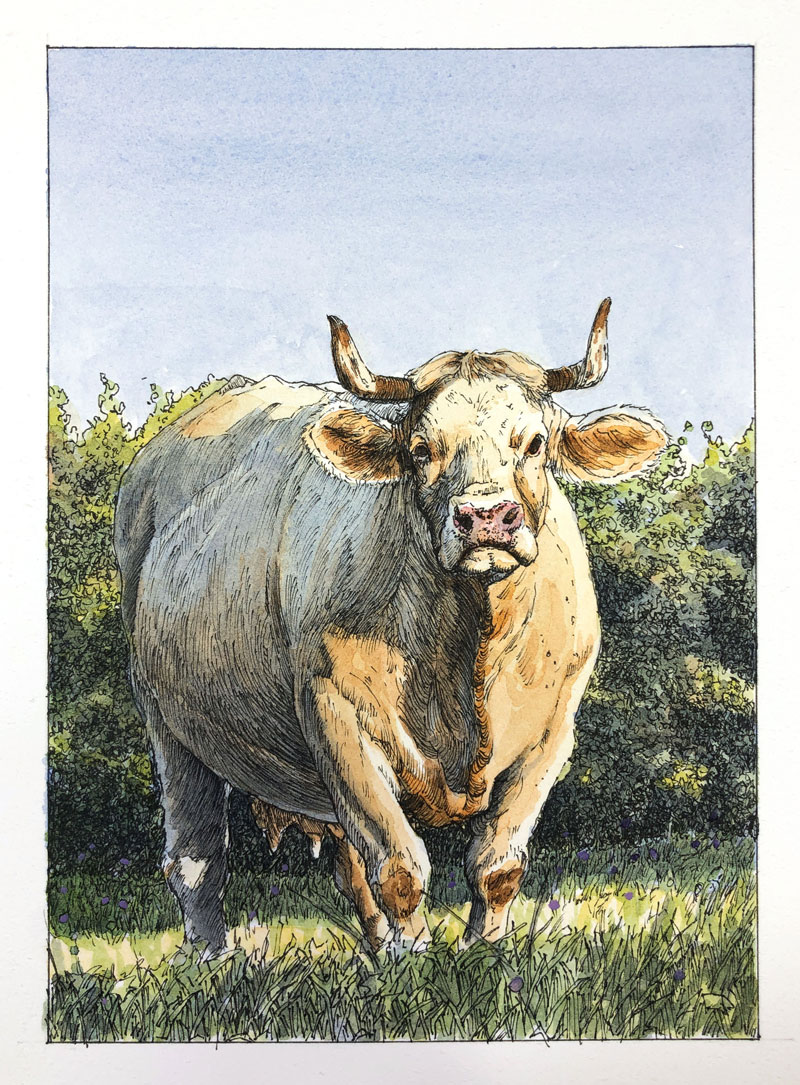 Pen and ink with watercolor drawing of a cow