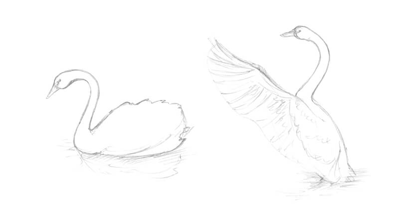 Practice sketches of a swan with graphite