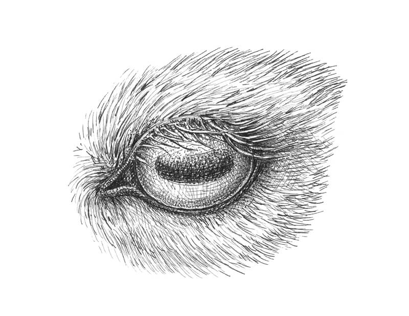 Pen and ink drawing of a goat eye