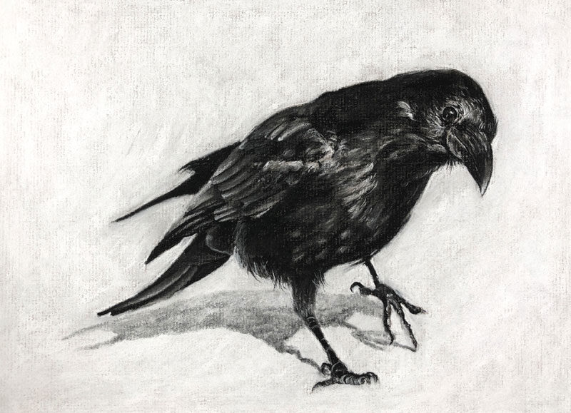 Charcoal drawing of a Raven