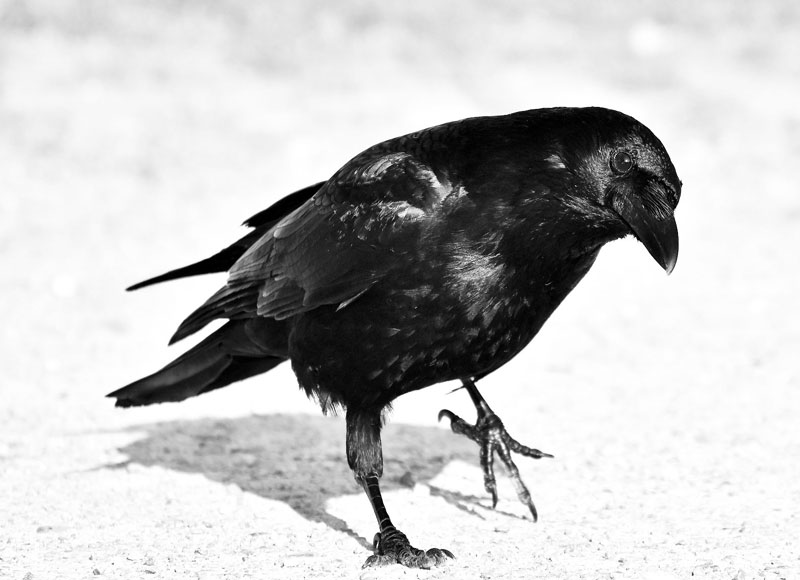 Photo reference of a Raven