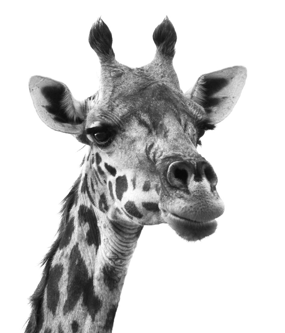 Giraffe Photo Reference