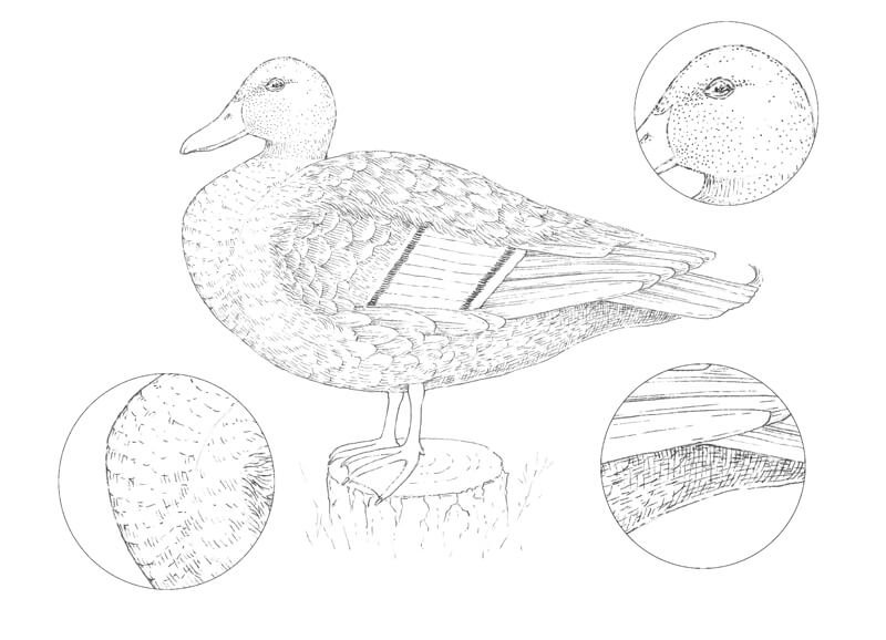 Drawing textures of the feathers on the body of the duck with ink pens