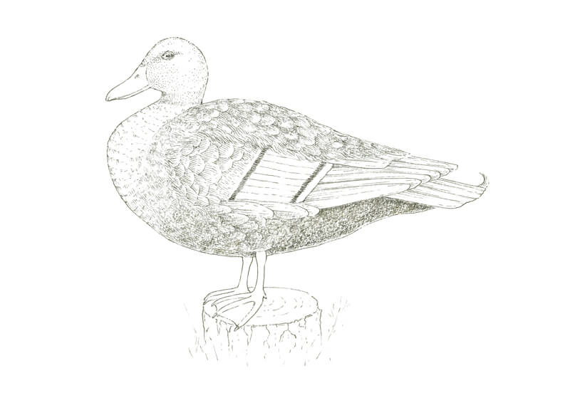 Adding gray to the body of the duck