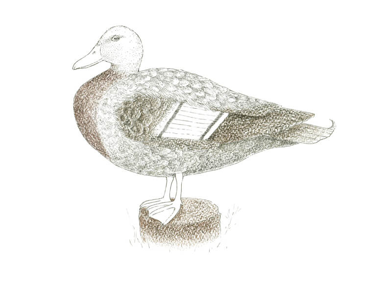 Adding browns to the duck with water-soluble pencils