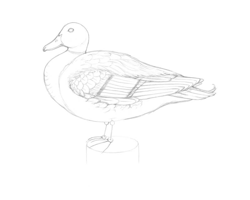 Drawing the tail feathers of a mallard duck