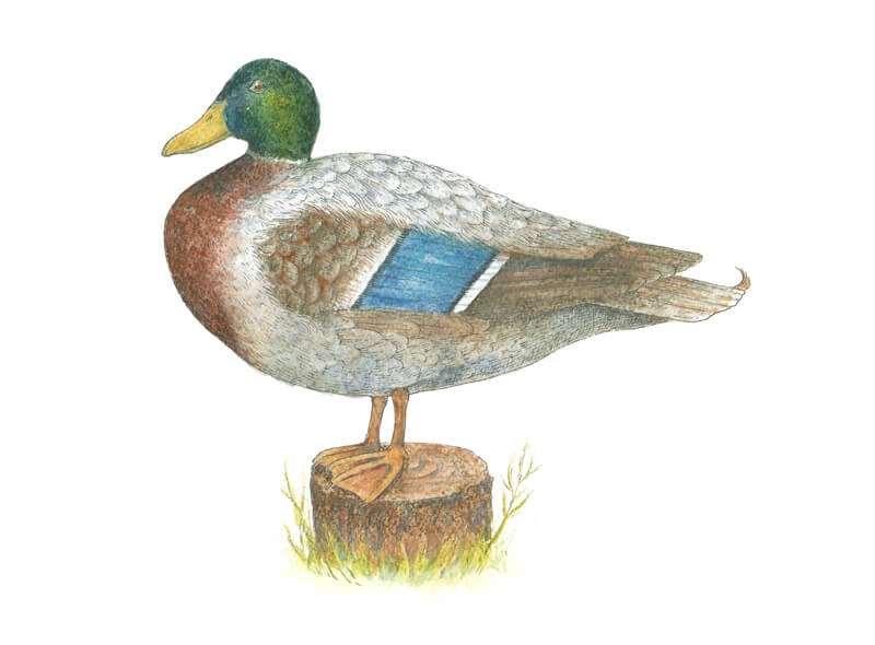Adding the final details to the drawing of a duck