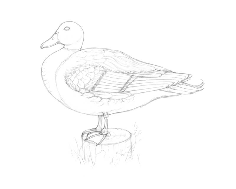 Complete pencil sketch of a duck