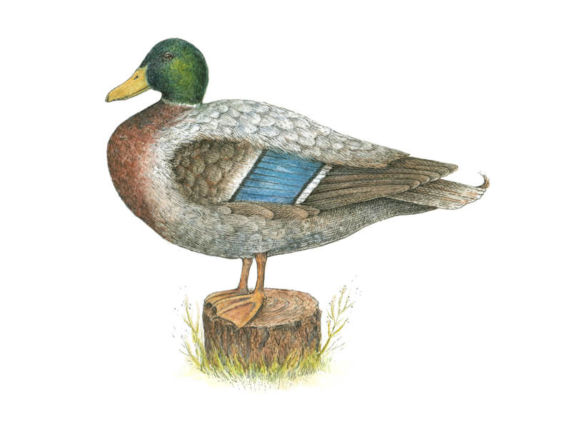 Ink and water-soluble pencil drawing of a duck